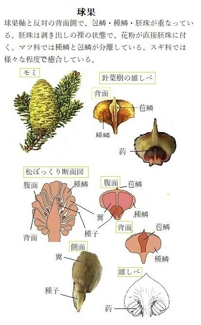 次 の うち で 裸子 植物 でない もの は どれ か